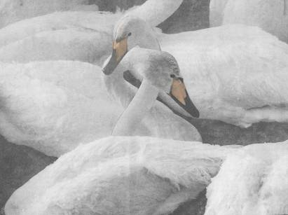 small swan5