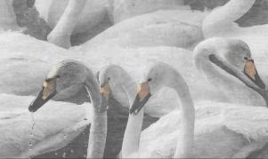 small swan6