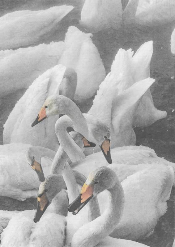 small swan8