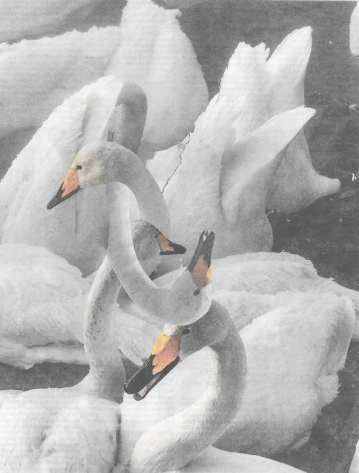 small swans